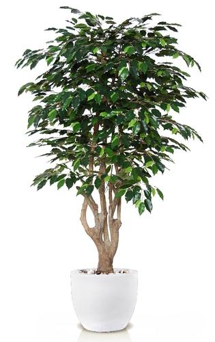 Ficus Exotica Malabar